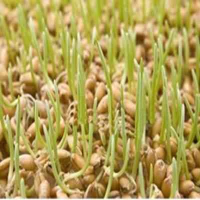 طريقة تحضير رشيم القمح